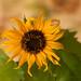 Sonnenblume kleinblumig