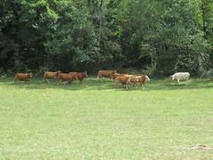 AG Rando's Limousin