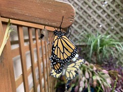 2020 256/366 9/12/2020 SATURDAY - Freshly Hatched Monarch Butterfly Next To Its Chrysalis Shell