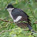 A Jacobin / Pied Cuckoo looking for Caterpillars