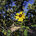 Sunflowers In the Bosque 14
