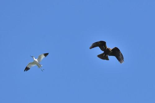 AVOCETA Y AGUILUCHO LAGUNERO (Recurvirostra avosetta y Circus Aeroginosus) - JOSE YUSTE AYUSO