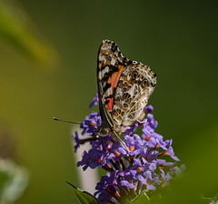 Painted Lady , Vanessa cardui