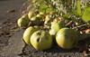fallen apples 02 sep 20
