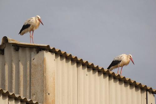CIGÜEÑAS BLANCAS EN EL SILO (Ciconia ciconia) - OSCAR FRIAS CORRAL