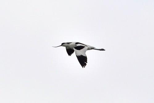 AVOCETA COMÚN (Recurvirostra avosetta) -CARLOS HERMDIA RODRIGUEZ