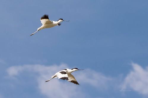 AVOCETA COMÚN I(Recurvirostra avosetta) - AUGUSTO AMOR GARCIA
