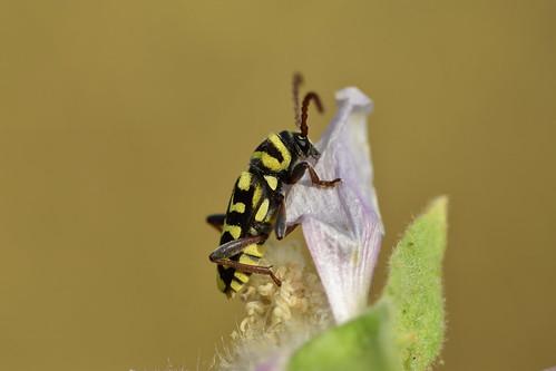 ESCARABAJO AVISPA (Plagionotus marcorum) - JOSE ANTONIO GÓMEZ