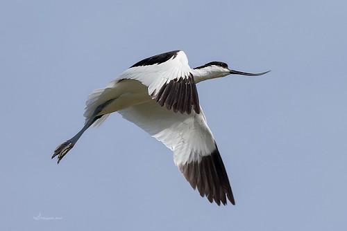 AVOCETA COMÚN II(Recurvirostra avosetta) - AUGUSTO AMOR GARCIA