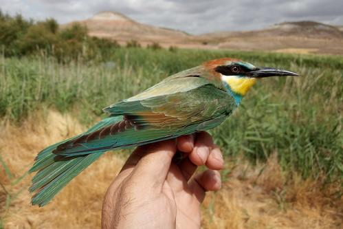 ABEJARUCO EUROPEO (Merops apiaster) - OSCAR FRIAS CORRAL