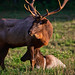 Rutting season: A possessive bull elk guards his cow