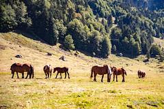 Chevaux dans la vallée d'Ossau