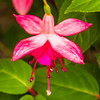 Fuchsia in My Garden