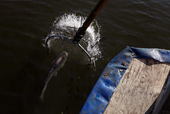 Catfish Electrofishing