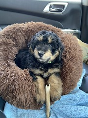 Hi I'm Ozzy - one of Josie & Fonzie's puppies