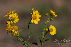 September 12, 2020 - Beautiful wild sunflowers. (Tony's Takes)