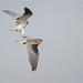 Black-shouldered Kite: Tough Love