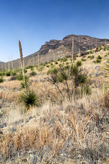 Yuccas and Grasses