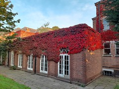 Photo of the annual colour change of the Boston Ivy