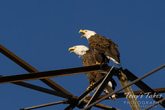September 12, 2020 - Fantastic bald eagles in Thornton. ((Tony's Takes)