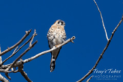 September 12, 2020 - An American kestrel keeping watch in Thornton. (Tony's Takes)