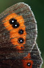 Scotch Argus wing detail