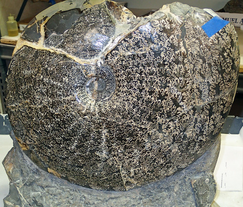 Placenticeras sp. (fossil ammonite) (Pierre Shale, Upper Cretaceous; Meade County, South Dakota, USA) 2
