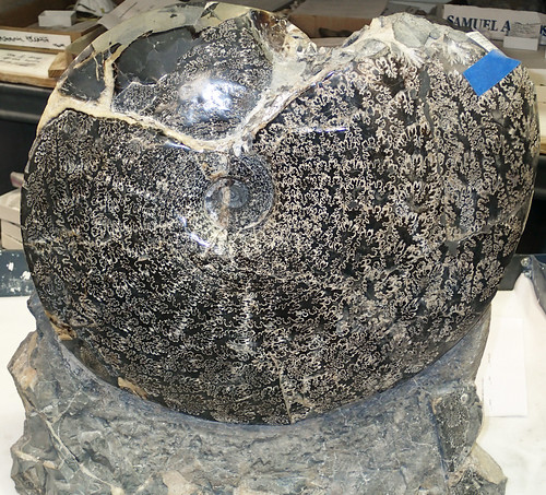 Placenticeras sp. (fossil ammonite) (Pierre Shale, Upper Cretaceous; Meade County, South Dakota, USA) 1