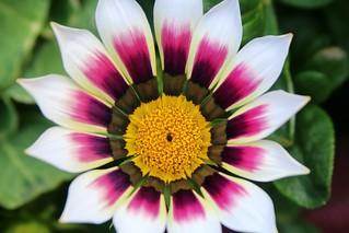 Denali flower