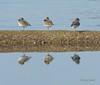 Three Bird Reflections