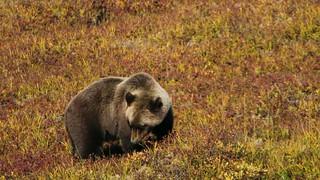 Denali bear 2