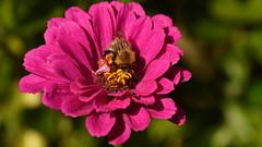 Photo of Honey Bee on Zinnia
