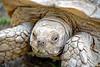 Giant Spurred Tortoise