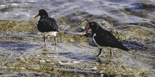 Pied oystercatchers on the hunt, Lindisfarne, Hobart, Tasmania