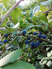 Photo of Sloes