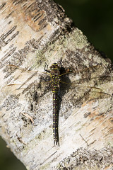 Photo of Dragonfly on a Beech Tree