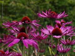 Photo of 2020 09 08 - Echinacea 1