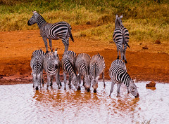 Grant's Zebras in front of Kilaguni Serena Safari Lodge, Tsavo West, Kenya
