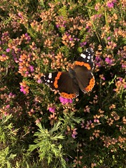 Photo of Red Admiral butterfly