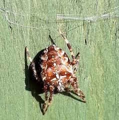 Photo of Europen Garden Spider - Araneus diadematus