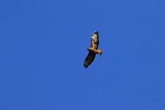 Photo of Buzzard in flight