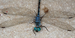 0340 Dragonfly Eyes