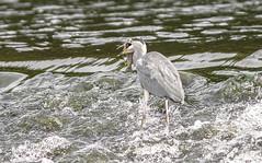 5/6 Heron, Workington, Cumbria, UK 18/9/2020