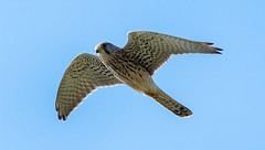 Rainham 19.09.20 Kestrel-1