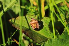 Photo of Hairy Shieldbug