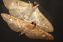 0455 Moth Reflections b (1)