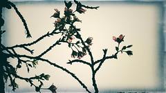ボケている桜 02