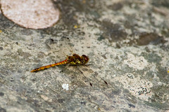 Photo of Common darter, female, resting by River Avon