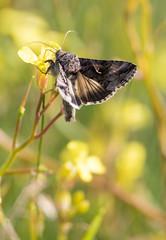 Photo of Golden Y Moth