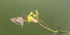 Photo of Feeding Golden Y Moth